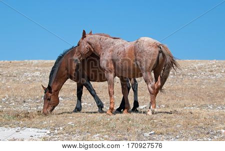 Red Roan Band Stallion With His Bay Mare On Sykes Ridge In The Pryor Mountains Wild Horse Range On T