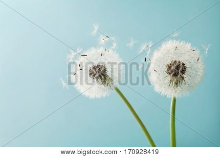 Beautiful dandelion flowers with flying feathers on turquoise background, vintage card. Macro.