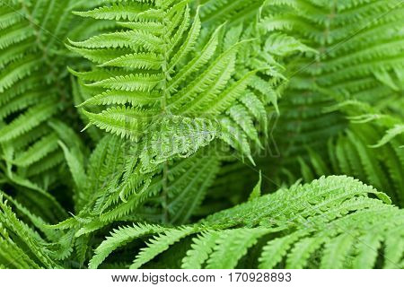 Fern leaves after rain in the forest. Nature background.