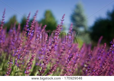 Selective view of a lavender flower with the background lavender blurred