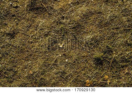Grass, green dry grass texture, needles, green natural background, dry grass