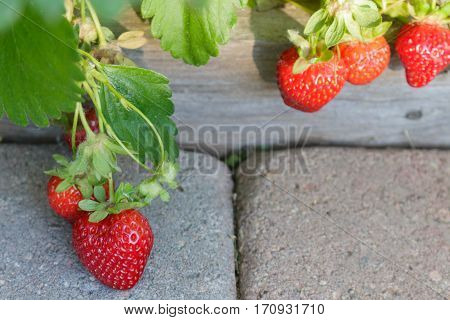 Several juicy organic strawberries ripening on the vine over a paver walkway ready to eat.