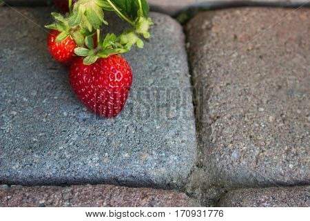 Delicious strawberries growing organically in the garden hanging over a paver walkway ripening in the sun.
