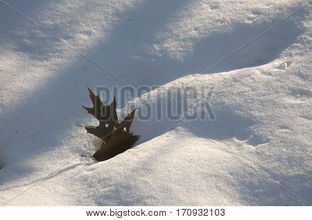 Oak leaf on snow in sunny winter day