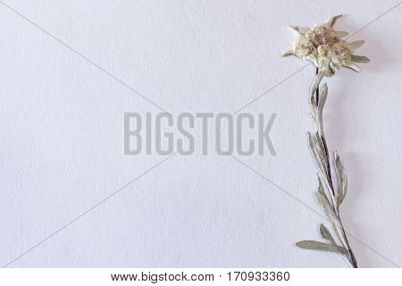 Textured paper background with dried edelweiss flower on the right, horizontal