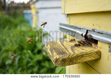 Bees come flying to the yellow beehive