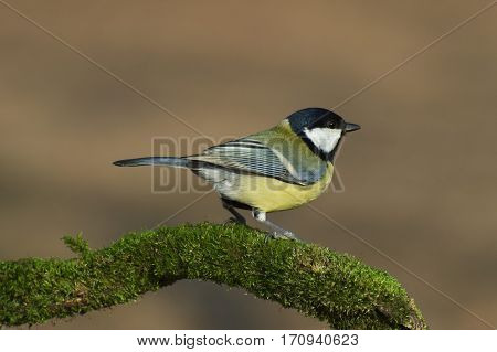 Great tit (Parus major) bird standing on a sprig covered of green moss