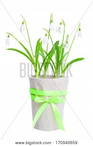 White spring snowdrops in a flowerpot isolated on a white background.
