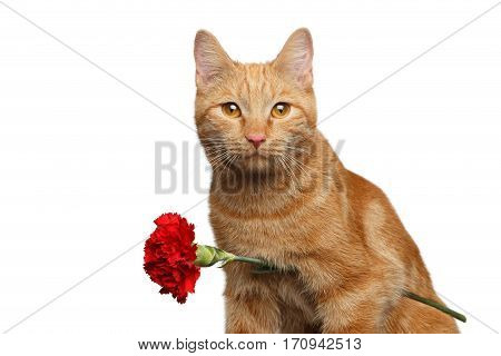 Close-up Portrait of Ginger Cat Lover Brought Flower as a gift isolated on white background, front view