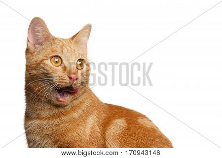 Portrait of Ginger Cat Surprised Open mouth on Isolated white background, side view