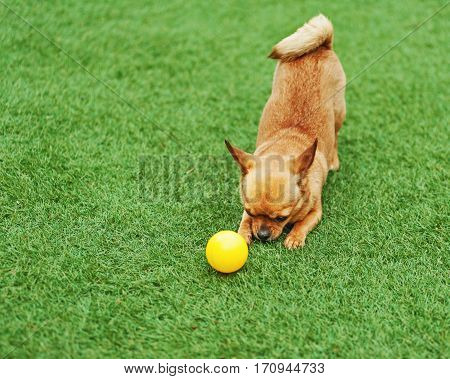 Red chihuahua dog on green grass. Selective focus.