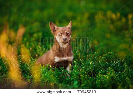Brown playful puppy sitting in camomiles in green meadow. Dog cub with white stripe on chest and white chin looks in the frame. Devoted eyes, smart look, best friend