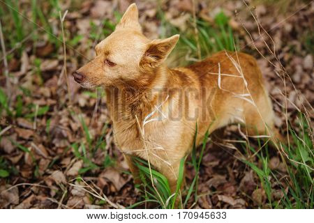 Dog standing on dried leaves with green grass and attentively looking to side. Pet of small stature with light brown color.