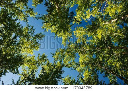Tree tops illuminated by sunlight on blue sky background. Daylight illuminates very tall trees. Green leaves stretch to sun and heavens.