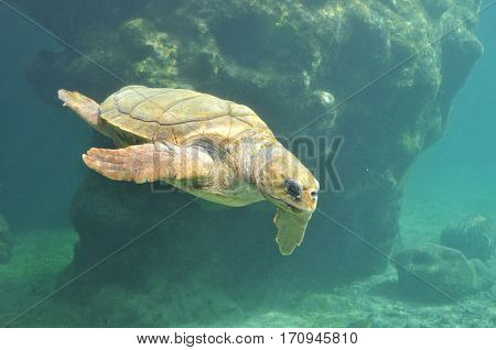 Underwater view of Sea Turtle in a Hospital in Reunion Island