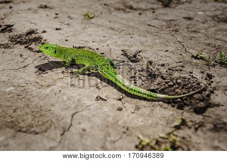 Bright green lizard close-up on ground. Can see shadow of lacertian on earth. Animal lurking. Green reptile full length. Iguana sitting on the stone. Squamata or scaled reptile