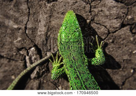 Head, part of torso and tail of green iguana on dry cracked earth. Salamander motionless stopped. Reptile close up portrait. Lizard on stones close up focused image