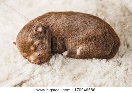 Small few days puppy lying on white soft furry coverlet. Brown dog baby with closed eyes, brown nose, paws with claws and pursed tail. Newborn little puppy in boarding home for dogs on cover