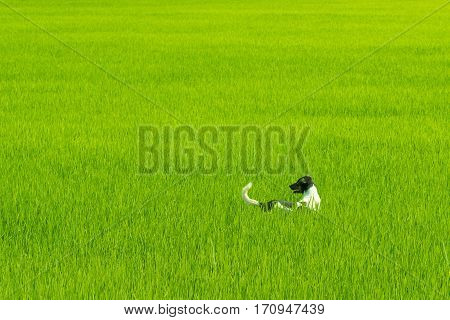 Dog masses play running in a green rice field playfully.