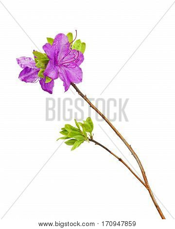 Purple rhododendron flowers on branch isolated on white background.