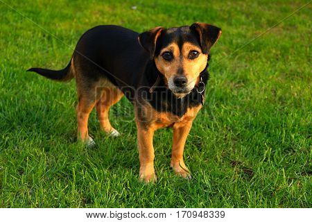 Small mongrel dog on the grass standing
