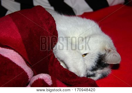 awakening contentedly black and white kitten cover blanket