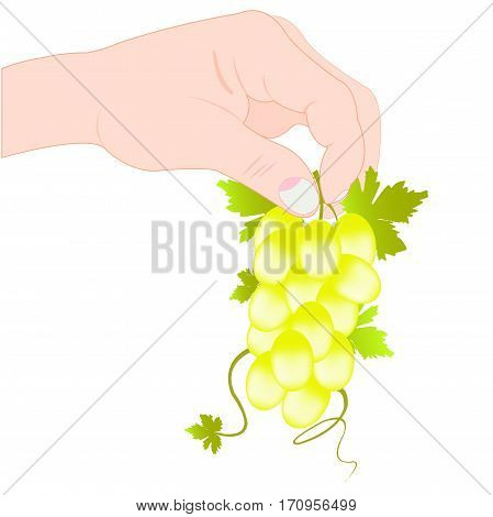 Hand of the person keeps grape on white background is insulated