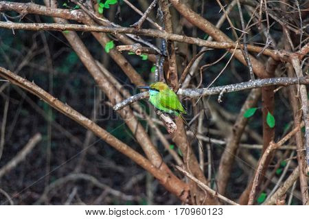 Green bee-eater or Merops orientalis perching on a branch
