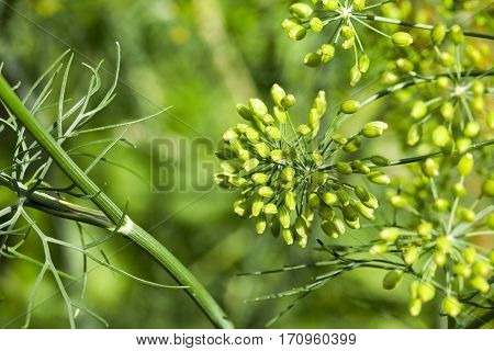Agricultural field on which grow immature green dill. Photo close-up, small depth of field. Summer season.