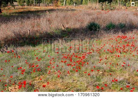 Field of red anemones, Shokeda forest, Israel