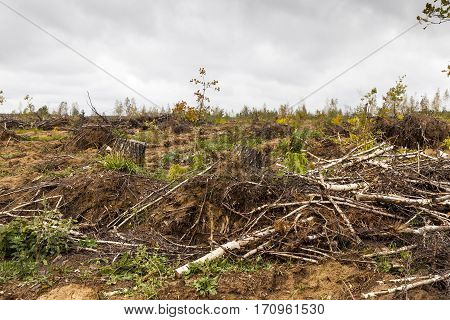 a small forest, which are broken after the storm birch trees. Then there were cut down and stacked like wood harvesting. Photos taken during cloudy weather
