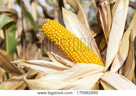 photographed close-up of ripe yellow dried corn growing in an agricultural field. open ears plant.