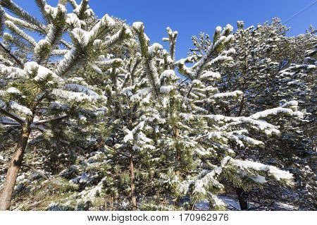 forest area, planted with spruce and pine. On the branches of fir trees is white snow after a snowfall. Blue sky, close-up photograph in the winter season.