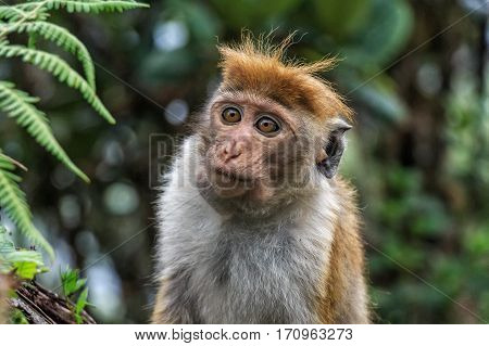 Close-up of Sri-Lankan toque macaque or Macaca sinica