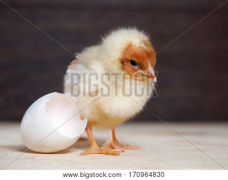 Newborn chick. The shell of the egg. Cute chick