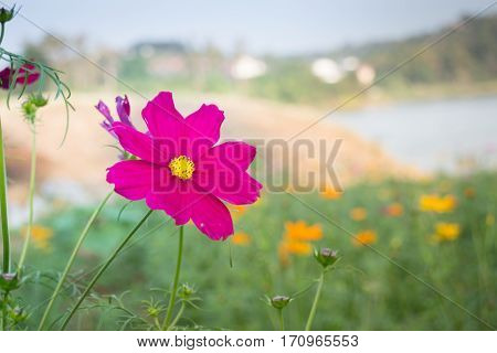 Cosmos bipinnatus spring flowers in field stock photo
