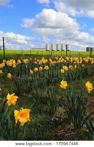 Farm Silos And Daffodils