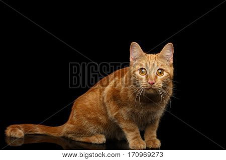 Ginger cat sitting and Stare on Isolated Black background