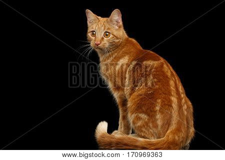 Ginger cat sitting and Stare at side on Isolated Black background, back view