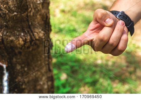 Finger In Milk Of Rubber Tree At Plantations