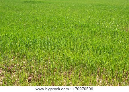 Photo of fresh green grass at the spring