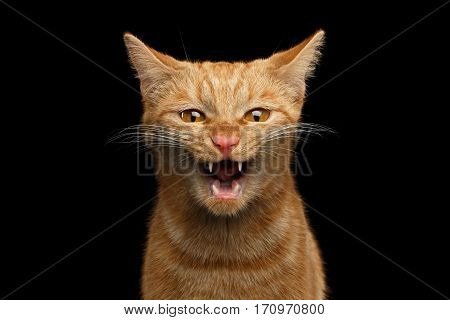 Portrait of Aggresive Mad Ginger Cat with opened mouth screaming on Isolated Black background, front view