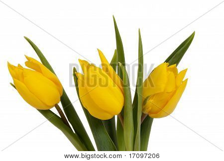 Yellow tulips on the white background