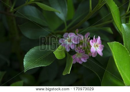 close up of tinny pink flower surrounded by green leaves selective focus one flower in focus two flowers in disfocus blurred green leaves in shadow on background soft focus