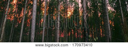 Pine tree forest in the late afternoon in the Sunshine Coast, Queensland.