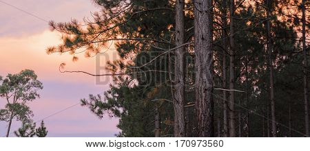 Pine Trees Forest In The Late Afternoon.