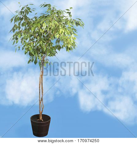 Houseplant tree (ficus benjamina).Tree on a blue background