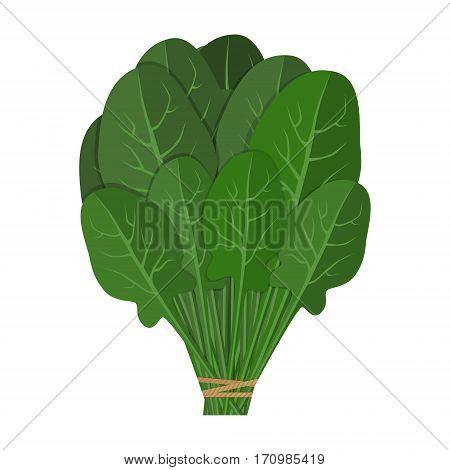 Bunch of fresh spinach close up. Green raw spinach leaves isolated on white background. Qualitative vector illustration for agriculture vegetables cooking health food gastronomy olericulture etc