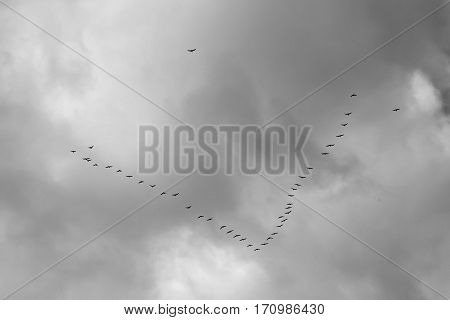 Black and white image of birds flying in V formation in cloudy day.