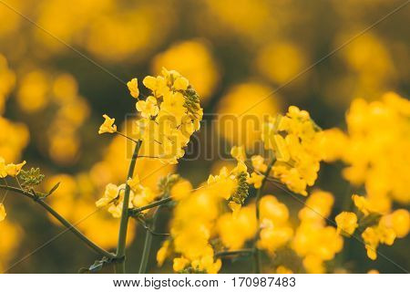 Canola Flowers, Colza. Yellow Rapeseed Flowers. Nature Background